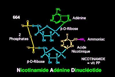 NICOTINAMIDE NAD MOLECULE