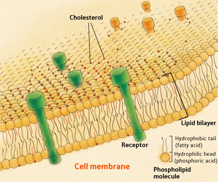 CHOLESTEREOL DANS MEMBRANE lipid_bilayer
